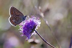 Azuré de la Bugrane, Azuré commun sur Succise (-Dop-) Tags: lycaenidae bolland liège belgique polyommatusicarus succisapratensis dipsacaceae