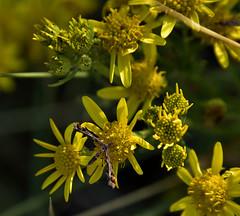 plume moth (UndaJ) Tags: plumemoth plume moth insect macro wildlife