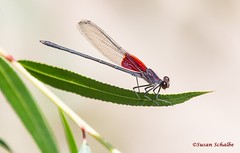 Colorful damselfly on a leaf (Photosuze) Tags: damselflies insects bugs americanrubyspots animals nature wildlife red
