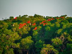 delta-parnaiba-ibis-rouges (terraexperiences) Tags: terranossa brazil brésil nordeste northeastern nossa