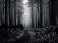 Misty Wood - Aldershot (Christopher Pope Photography) Tags: aldershot sunrise mist mono nikond610 pines blackwhite woodland trees surrey christopherpope beech wwwchristopherpopephotographycouk fog bw landscape autum uk