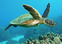 grandpa honu (BarryFackler) Tags: honaunaubay hawaii marine marinelife hawaiiisland marinebiology hawaiicounty marineecosystem honaunau marineecology hawaiidiving scuba hawaiianislands water biology westhawaii bigisland sea pacificocean southkona polynesia seacreature sealife kona pacific konacoast sealifecamera konadiving wildlife sandwichislands diving aquatic saltwater diver ocean seawater outdoor animal nature vertebrate barryfackler zoology being island bay reef tropical fauna bigislanddiving undersea organism life coralreef dive ecology underwater coral ecosystem seaturtle honu marinereptile cmydas hawaiiangreenseaturtle turtle carapace cheloniamydas reptile greenseaturtle