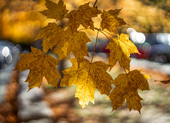 fall colors (kderricotte) Tags: bokeh sony sonya7iii sonyalpha ilce7m3 helios helios44m458mmf2 vintagelens autumn fall leaves