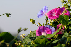 Ipomoea (fabiolain) Tags: fiori flowers natura nature ipomea morning glory