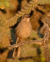 2018-09-28 Green Valley, AZ 2 (JanetandPhil) Tags: 20180910artxaznmvacation birds curvebilledthrasher toxostomacurvirostre nikon nikkor d800 800mmf56 greenvalleyaz