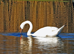 Mute Swan (grahamh1651) Tags: marazion longrockpool birds waterbirds swans mountsbay grebes