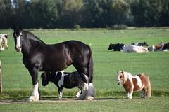 Shire & shetlander | Mini & Maxi (Frank Berbers) Tags: shireminishetlander shire minishetlander paarden pferde horse cheval landvanmaasenwaal gelderland nederland nikond5600