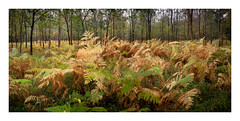 Local autumn colour (DavidO'Brien) Tags: fern panorama autumn oxfordshire stitch sony a7r woods