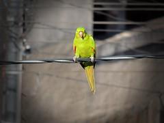 Brazil (Aline Trancolin) Tags: wildnature nature pássarosnacidade maritacas brazil brasil wildbirds pássarosselvagens natureza birds pássarosdobrasil pássaros