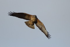 Checking me out (Robin M Morrison) Tags: buzzard flight exmoor sky