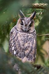 Screech owl (MichalWolf) Tags: screechowl screech owl animal bird predator tree portrait sonnar m42 mf sony sonygangcz sonya7 a7 germany wald nationalpark bayerischer carl zeiss