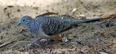 pigeons doves-03 (Captain Hadoc) Tags: bird birds australia wild wildlife farm pigeonsdoves pigeons