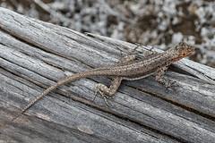 Galapagos lava lizard [Microlophus albemarlensis] (Fred Roe) Tags: nikond810 nikkorafs80400mmf4556ged nature wildlife reptile lizard galapagoslavalizard microlophusalbemarlensis galapagos