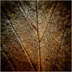 top (Andy Stones) Tags: leaf macro autumn autumnal texture nature naturephotography image imageof imagecapture photography photoof