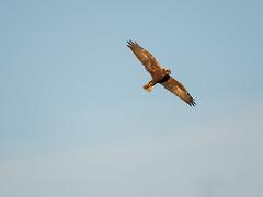 Marsh Harrier - September evening (Tony McLean) Tags: ©2018tonymclean tophilllow eastyorkshire naturephotography wildlifephotography nikond4 nikon500f4gvr marshharrier