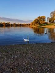 Swan Lake (Magic M.) Tags: swan swans lake autumn sunshine cologne swanlake schwan schwäne fühlingersee see fühlingen köln herbst