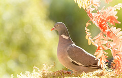 wood pigeon is standing with red leaves (Geert Weggen) Tags: animal autumn bright bud cheerful closeup cute flower foodanddrink horizontal humor land lightnaturalphenomenon mammal moss mushroom nature perennial photography plant red springtime summer sweden tasting toadstool fun fight fall couple attack young dove bird wood pigeon fly wing air bispgården jämtland geert weggen ragunda hardeko