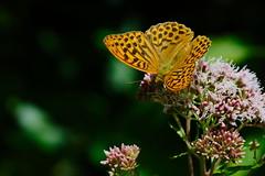 Argynnis paphia (2) (JoseDelgar) Tags: insecto mariposa argynnispaphia 426132798697546 josedelgar naturethroughthelens coth coth5 ngc npc fantasticnature