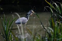 27092018-DDO_2018-09-27-21.jpg (denis.loyaux) Tags: ariège denisloyaux domainedesoiseaux héroncendré mazères nikondd850 nikonafs600f4vr france oiseau