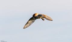 Barn Owl at sunrise (Steve (Hooky) Waddingham) Tags: animal planet countryside coast bird british barn voles nature northumberland mice flight hunting morning sunrise wild wildlife prey owl