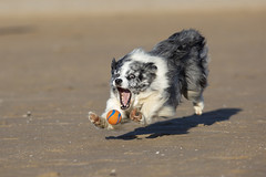 The ball had no idea at the time, but the end was imminent (redshift1960) Tags: duke bluemerle bordercollie dog chuckit ball beach