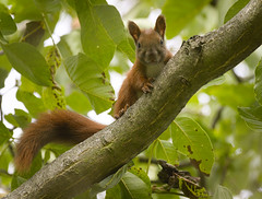 Looking from a branch (hedera.baltica) Tags: squirrel redsquirrel eurasianredsquirrel wiewiórka wiewiórkapospolita sciurusvulgaris
