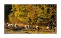 Herbstimpression Maasduinen (Babaou) Tags: niederlande nederland limburgnoord limburgslandschap schafe sheep herbst maasduinen nationaalparkdemaasduinen dxopl explore