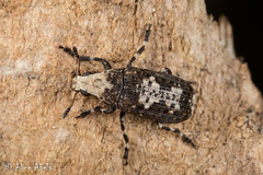 Euparius pictus (aliceinwl1) Tags: az anthribidae anthribinae arizona arizona2018 arthropod arthropoda coconinocounty coleoptera curculionoidea euparius eupariuspictus fungusweevils fungusweevil insect insecta polyphaga sedona seriescucujiformia beetle locpublic pictus viseveryone