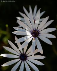 Flowers (leendert3) Tags: leonmolenaar southafrica nature flowers daisies naturethroughthelens ngc npc