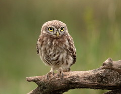 Little Owl (Juvenile) (Colin Rigney) Tags: nature wildlife colinrigney outdoors outside canon wild wildbirds hungarianwildlife hungary hortobagy littleowl owl