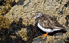 Turnstone. (Chris Kilpatrick) Tags: chris canon canon7dmk2 outdoor wildlife nature animal bird turnstone springwatch peel isleofman sigma150mm600mm