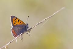 Cuivré commun, Bronzé (-Dop-) Tags: lycaenidae lierneux liège belgique lycaenaphlaeas
