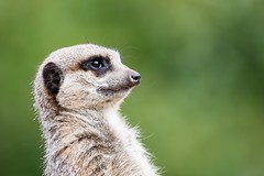 Meerkat (tad2106 - Trudie Davidson Photography) Tags: zoo animal wildlife wildlifepark whipsnade