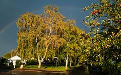 Uppsala, September 10, 2018 (Ulf Bodin) Tags: höst autumncolours sverige apples tree autumn park träd gunstaparken sweden outdoor gunstaplan samsunggalaxys9 äpplen uppsala uppsalalän se rainbow fålhagen