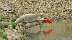 Dive (dan487175) Tags: bear ursus ursusmaritimus ursinae urso uk unitedkingdom doncaster day dayout yourkshire ywp white water whitefur wet wildlifepark wiskers claws cute colour 2018 1 summer silly rocks rippels rock reflection tail trafficcone cone red outdoors orso ours jumping jaws grass green giant mid flight air time paws nikon black polarbear projectpolar project leap diveing stretching playing mammal preditor toy chew playfull park walk lips nose
