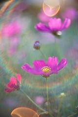 DSC04222 (Keishi Etoh rough-and-ready photoglaph) Tags: flower sony a7ⅱ sonya7ⅱ 35mmfullframe ilce7m2 sonyilce7m2 autoyashinondx50mmf14 yashica 50mm mf manualfocuslens primelens fixedfocallengthlens oldlens yashinon m42 単焦点 標準