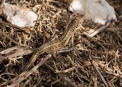 Sand lizard (Anne Richardson) Tags: reptile lizard arne dorset wildlife nature
