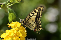 Swallowtail (Ralph J Clark) Tags: butterfly crete europeanswallowtail