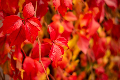 Red (Future-Echoes) Tags: 2018 autumn autumnal bokeh depthoffield dof fall leaf leaves nature red