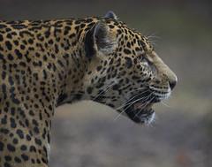 Jaguar portrait (Mawrter) Tags: jaguar portrait profile spots cat zoo captive turtlebackzoo canon lowlight specanimal specanimalphotooftheday