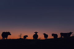 Sunset (Chipyluna) Tags: cows bovine sunset landscape black red purple blue sky autumn sun evening animals nature field silhouette silhouettes backlit galloway scotland colours nikon nikond5600 d5600