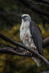 20181019-081a-Arthur River Cruise-Flickr.jpg (Brian Dean) Tags: arthurriver austgeo 2018tour bird whitebelliedseaeagle housesitting tasmania slideshow flickr facebook