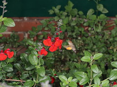 EOS 7D Mark II_075145 (Gertjan Kamsteeg) Tags: animal invertebrate bug macro insect moth hummingbirdhawkmoth macroglossumstellatarum