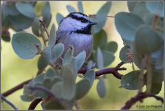 Mountain Chickadee 3635 (maguire33@verizon.net) Tags: idyllwild mountainchickadee bird wildlife idyllwildpinecove california unitedstates us