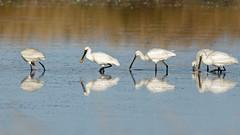 Le défilé - Spatules (Elisabeth Lys) Tags: spoonbill nikon d7200 maraissalants sigma 150600mm contemporary oiseau bird eau light blanc white yellow spatuleblanche nature