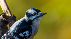 downy woodpecker 0670 (brian.a.stamper) Tags: animal bird downywoodpecker dryobatespubescens stlouis missouri unitedstates us