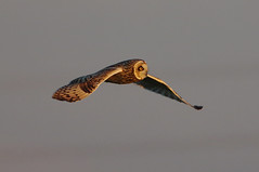 K32P3396a Short-eared Owl, Burwell Fen, October 2018 (bobchappell55) Tags: wild bird wildlife nature flight burwellfen cambridgeshire asioflammeus shorteared owl birdofprey raptor
