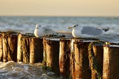 Sonnenbaden (Don Bello Photography) Tags: herbst 2018 inselhiddensee vitte ostsee balticsea buhnen möwen vogel bird abendlicht acdsee mv mecklenburgvorpommern panasonicfz1000 lumixfz1000 reinhardbellmann donbellophotography