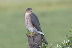 Sparrowhawk (Accipiter nisus) Male (phil winter) Tags: sparrowhawk accipiternisus male raptor birdofprey