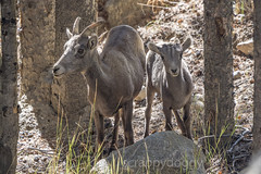 Bighorn Ewe and Lamb (scrappydoggy) Tags: ewe lamb sheep bighorn bighornsheep sony a7riii a7r3 100400 100400mm wildlife animal critter nature colorado guanella guanellapass